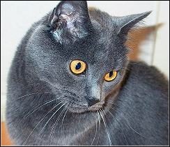 Chartreux Kater